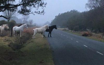 Angleterre : des poneys sauvages en deuil après la mort d'un des leurs